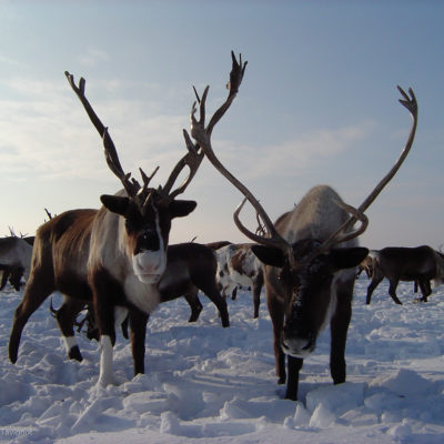 Les éleveurs de rennes l'hiver au Kamtchatka