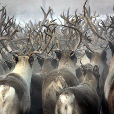 Les éleveurs de rennes l'hivers au Kamtchatka